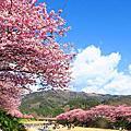 2017日本伊豆半島滿開的河津櫻