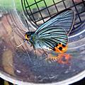 20090412~0514義學坑大綠弄蝶全記錄