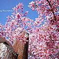 2013 美麗依舊,粉色武陵。