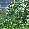 農北瑞雙007三貂嶺魚寮往雙溪區石壁坑油桐花