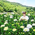 【陽明山竹子湖】午後陽光繡球花田(2018/5/12最新花況)