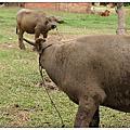 越南-轉角遇到牛