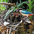 2013八色鳥育雛記錄