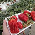 Day 3--0312哈都巴士一日遊-南房總草莓吃到翻過去