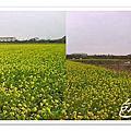 46-竹北市民農園_紫色花椰菜