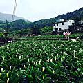 2016竹子湖海芋季