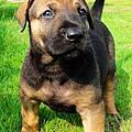 高山犬標題圖片