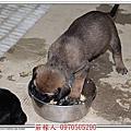 高山犬幼犬21天