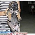 高山犬(大型土狗)的成長