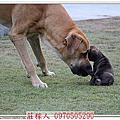 高山犬幼犬第35天