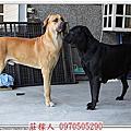 (高山犬)胖虎與賓果2013.11.29配種了