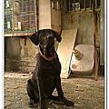 高山犬幼犬ANIKI 4個月又20天