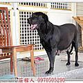 高山犬賓果懷孕46天紀錄