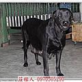 高山犬賓果懷孕52天