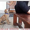 高山犬幼犬61天回娘家