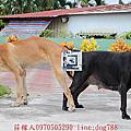 高山犬賓果配種