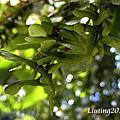 台灣紅榨槭