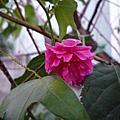 櫻花 (沙庫拉)