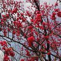 竹科園區櫻花