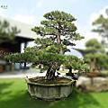日本百年黑松-藝樹盆景