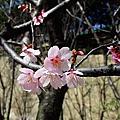 壽山公園-賞櫻