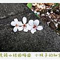 經國梅園-桐花
