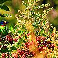 布洛灣五色鳥