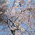 櫻花2012