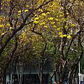 滿城街是黃金雨-黃花風鈴木