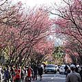 2012.2月櫻花季 復興三路+陽明山