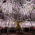 2015日本栃木縣足利花園紫藤花祭
