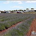 2016澳洲第七天【Bridestowe Lavender Estate。紫色薰衣草花田】