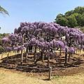 日本紫藤花海