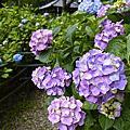 六月紫陽花