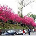 2012新社櫻花