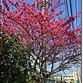 2015.01.23《陽明山 平菁街賞櫻花》