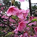 20090130花園新城櫻花 & 妞妞