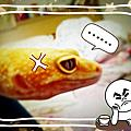 守宮─豹紋[LIGHT]&新疆蛙眼[Waffle]