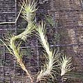 Tillandsia funckiana 小狐尾 (空氣鳳梨)