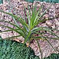 "Tillandsia tenuifolia ""Emerald Forest"""
