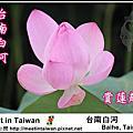 白河蓮花季(台南白河)