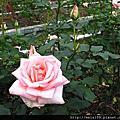 士林官邸玫瑰展