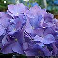 2016年6月上旬 特色植物 玫瑰 繡球花
