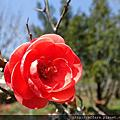 2017年4月上旬 農場特色植物 貼梗海棠 桃花 風信子