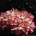 2017年6月上旬 農場特色植物 繡球花 毛地黃 玫瑰
