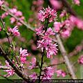 2019年4月下旬 農場特色植物:杜鵑、歐洲七葉樹、菊桃