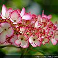 2019年6月農場相簿 特色植物:繡球花、鳳仙花、蟠桃