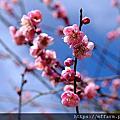 2020年1月 農場特色植物:梅花、聖誕玫瑰