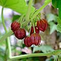 2020年5月農場相簿 特色植物:毛地黃、八角蓮、粉紅花舖地蜈蚣