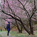 【台中❆和平區】夢幻賞櫻景點。武陵農場